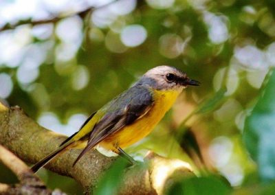 Yellow Robin 2 (800x533)